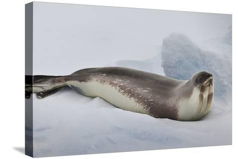 Ross Sea, Antarctica. Rare Ross Seal-Janet Muir-Stretched Canvas Print