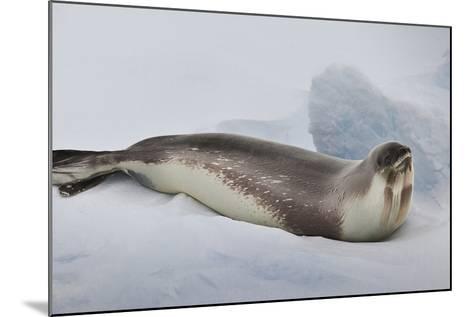 Ross Sea, Antarctica. Rare Ross Seal-Janet Muir-Mounted Photographic Print