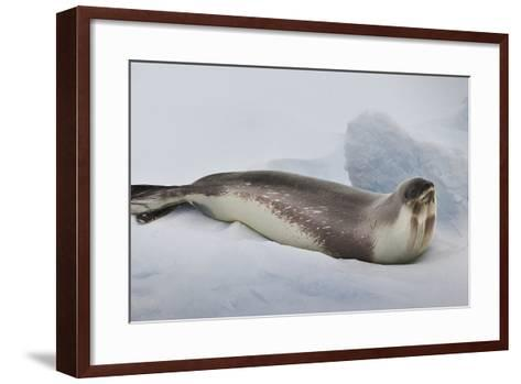Ross Sea, Antarctica. Rare Ross Seal-Janet Muir-Framed Art Print