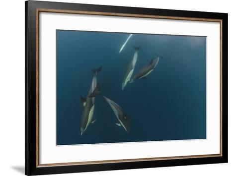 Dolphin and Cape Gannet at Sardine Run, Eastern Cape, South Africa-Pete Oxford-Framed Art Print