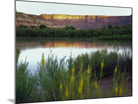 Canyonlands NP, Utah. Prince's Plume in Bloom Along Green River, Dawn-Scott T^ Smith-Mounted Photographic Print