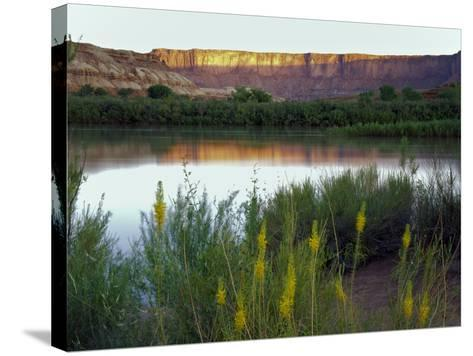 Canyonlands NP, Utah. Prince's Plume in Bloom Along Green River, Dawn-Scott T^ Smith-Stretched Canvas Print