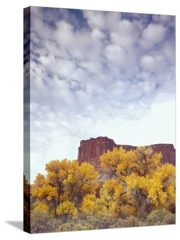 Canyonlands NP, Utah. Cottonwoods in Autumn Below Cliffs and Clouds-Scott T^ Smith-Stretched Canvas Print
