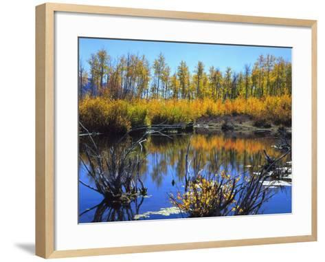 Utah. USA. Willows and Aspens in Autumn at Beaver Pond in Logan Canyon-Scott T^ Smith-Framed Art Print