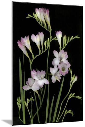 Freesia on Black Background-Anna Miller-Mounted Photographic Print