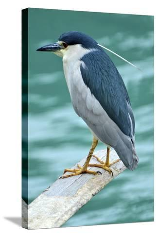 A Black-Crowned Night Heron Fishing, Lei Yu Mai Village, Hong Kong-Richard Wright-Stretched Canvas Print