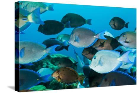 School of Purple and Blue Tangs Swim Off of Bonaire-James White-Stretched Canvas Print