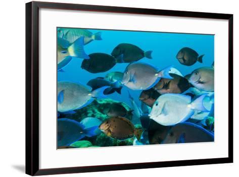 School of Purple and Blue Tangs Swim Off of Bonaire-James White-Framed Art Print