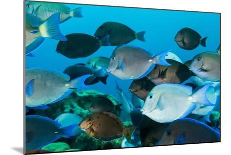 School of Purple and Blue Tangs Swim Off of Bonaire-James White-Mounted Photographic Print