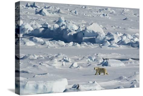 Norway. Svalbard. Hinlopen Strait. Polar Bear Walking on the Drift Ice-Inger Hogstrom-Stretched Canvas Print