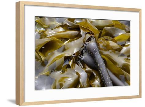 Canada, B.C., Gulf Islands, Portland Island. Close Up of Bull Kelp-Kevin Oke-Framed Art Print