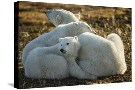 Canada, Manitoba, Churchill, Polar Bear and Cubs Resting on Tundra-Paul Souders-Stretched Canvas Print