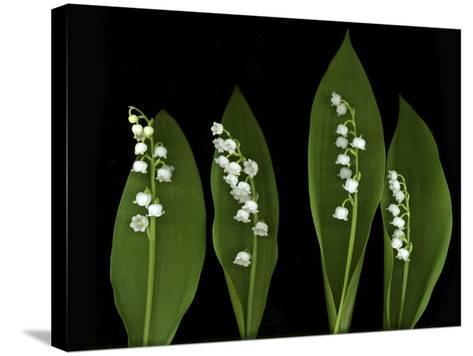 Lily of the Valley Study-Anna Miller-Stretched Canvas Print