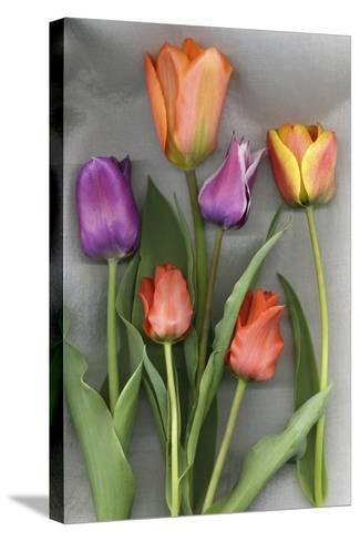 Colorful Tulips on White Background-Anna Miller-Stretched Canvas Print