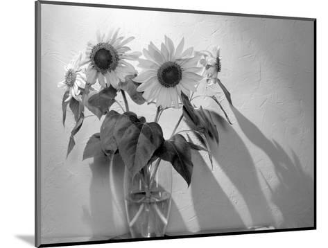 Sunflower-Anna Miller-Mounted Photographic Print
