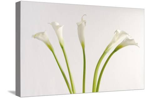 Calla Lily-Anna Miller-Stretched Canvas Print