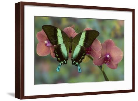 The Green Swallowtail Butterfly, Papilio Blumei-Darrell Gulin-Framed Art Print