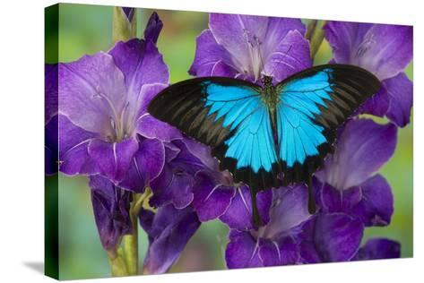 Mountain Blue Swallowtail of Australia, Papilio Ulysses-Darrell Gulin-Stretched Canvas Print