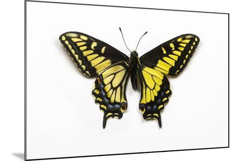 Anise Swallowtail Butterfly, Top and Bottom Wing Comparison-Darrell Gulin-Mounted Photographic Print