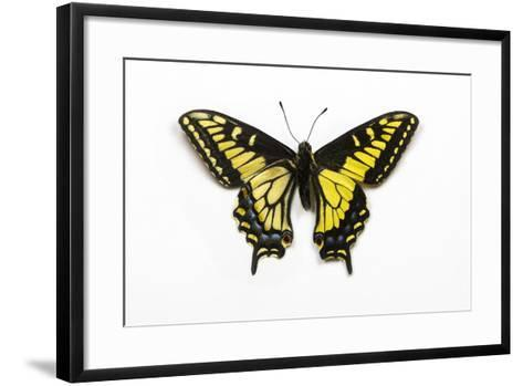 Anise Swallowtail Butterfly, Top and Bottom Wing Comparison-Darrell Gulin-Framed Art Print