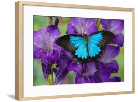 Mountain Blue Swallowtail of Australia, Papilio Ulysses-Darrell Gulin-Framed Art Print