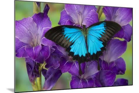 Mountain Blue Swallowtail of Australia, Papilio Ulysses-Darrell Gulin-Mounted Photographic Print