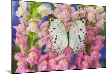 The Forest Mother of Pearl Butterfly from Areas of Salamis Parhassus-Darrell Gulin-Mounted Photographic Print