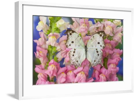 The Forest Mother of Pearl Butterfly from Areas of Salamis Parhassus-Darrell Gulin-Framed Art Print