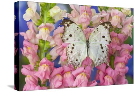 The Forest Mother of Pearl Butterfly from Areas of Salamis Parhassus-Darrell Gulin-Stretched Canvas Print