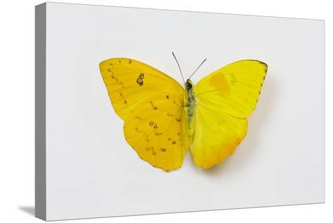 Orange-Barred Sulphur Butterfly, Comparison of Top and Bottom Wings-Darrell Gulin-Stretched Canvas Print