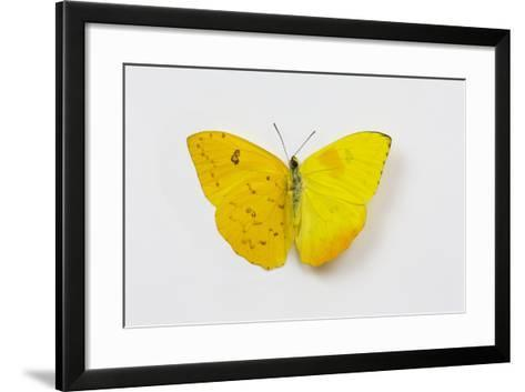 Orange-Barred Sulphur Butterfly, Comparison of Top and Bottom Wings-Darrell Gulin-Framed Art Print