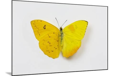 Orange-Barred Sulphur Butterfly, Comparison of Top and Bottom Wings-Darrell Gulin-Mounted Photographic Print