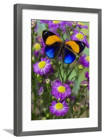 Brush-Footed Butterfly, Callithea Davisi on Orchard-Darrell Gulin-Framed Art Print