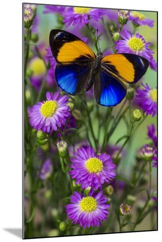 Brush-Footed Butterfly, Callithea Davisi on Orchard-Darrell Gulin-Mounted Photographic Print