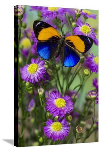 Brush-Footed Butterfly, Callithea Davisi on Orchard-Darrell Gulin-Stretched Canvas Print