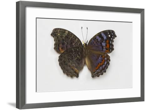 Gaudy Commodore Butterfly. Top Side on Right and Bottom on Left-Darrell Gulin-Framed Art Print