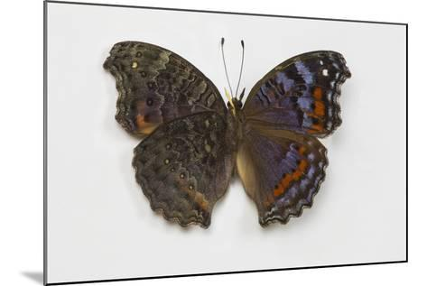 Gaudy Commodore Butterfly. Top Side on Right and Bottom on Left-Darrell Gulin-Mounted Photographic Print