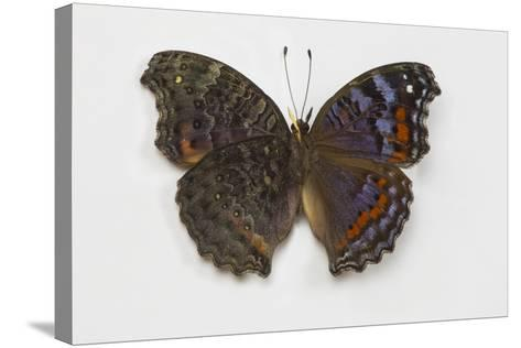 Gaudy Commodore Butterfly. Top Side on Right and Bottom on Left-Darrell Gulin-Stretched Canvas Print
