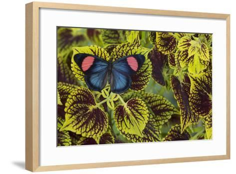 Painted Beauty Butterfly from the Amazon Region, Batesia Hypochlora-Darrell Gulin-Framed Art Print