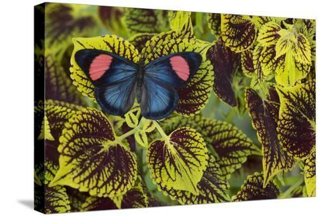 Painted Beauty Butterfly from the Amazon Region, Batesia Hypochlora-Darrell Gulin-Stretched Canvas Print