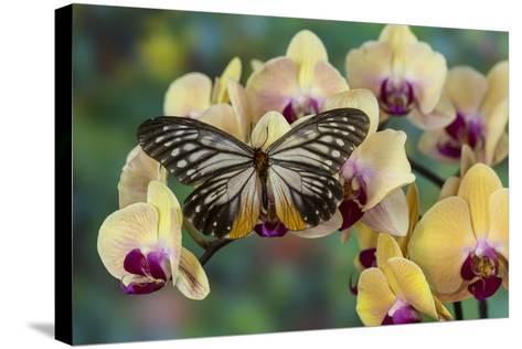Butterfly Calinaga Buddha, the Freak-Darrell Gulin-Stretched Canvas Print