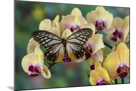 Butterfly Calinaga Buddha, the Freak-Darrell Gulin-Mounted Photographic Print