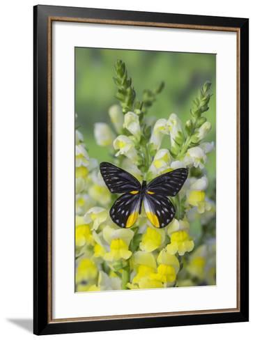 Jezebels Butterfly, Delias Species in the Pieridae Family-Darrell Gulin-Framed Art Print