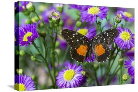Crimson Patch Butterfly, Cholsyne Janais a New World Butterfly-Darrell Gulin-Stretched Canvas Print