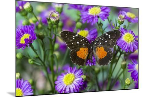 Crimson Patch Butterfly, Cholsyne Janais a New World Butterfly-Darrell Gulin-Mounted Photographic Print