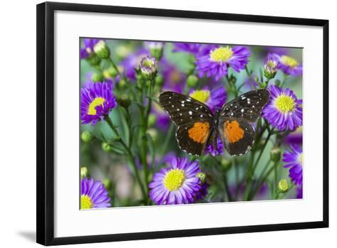 Crimson Patch Butterfly, Cholsyne Janais a New World Butterfly-Darrell Gulin-Framed Art Print