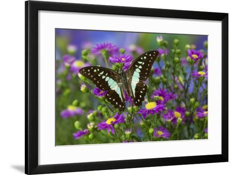 The Lesser Jay Butterfly, Graphium Evemon Orthia-Darrell Gulin-Framed Art Print