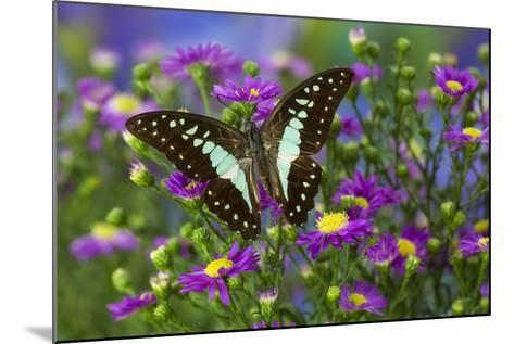 The Lesser Jay Butterfly, Graphium Evemon Orthia-Darrell Gulin-Mounted Photographic Print
