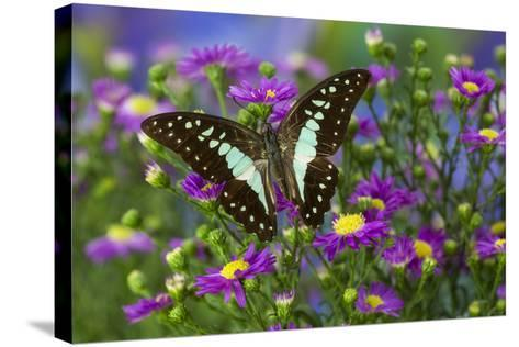 The Lesser Jay Butterfly, Graphium Evemon Orthia-Darrell Gulin-Stretched Canvas Print