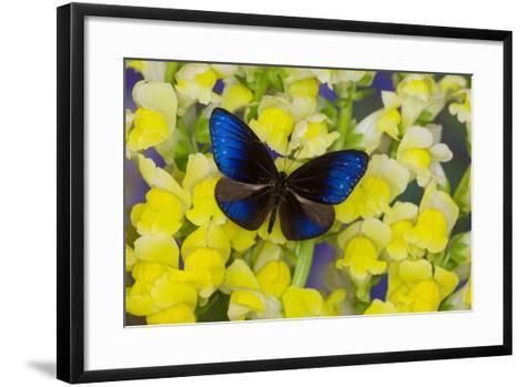 Blue Crow Butterfly, Euphoea Mulciber Subvisaya-Darrell Gulin-Framed Art Print